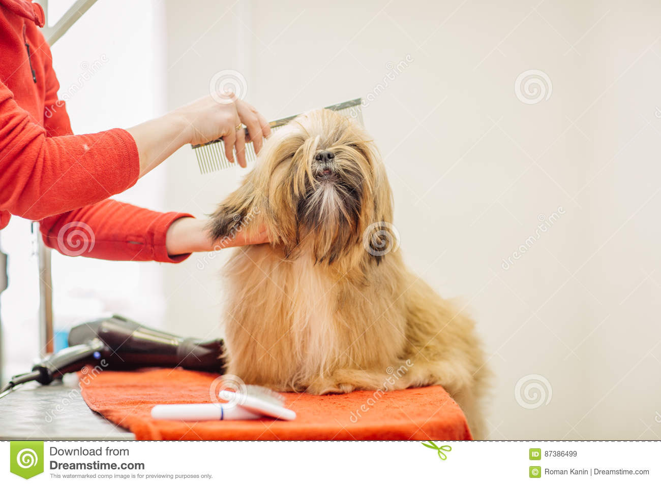 Yorkshire Terrier With Grooming Master In Salon Stock Image Image