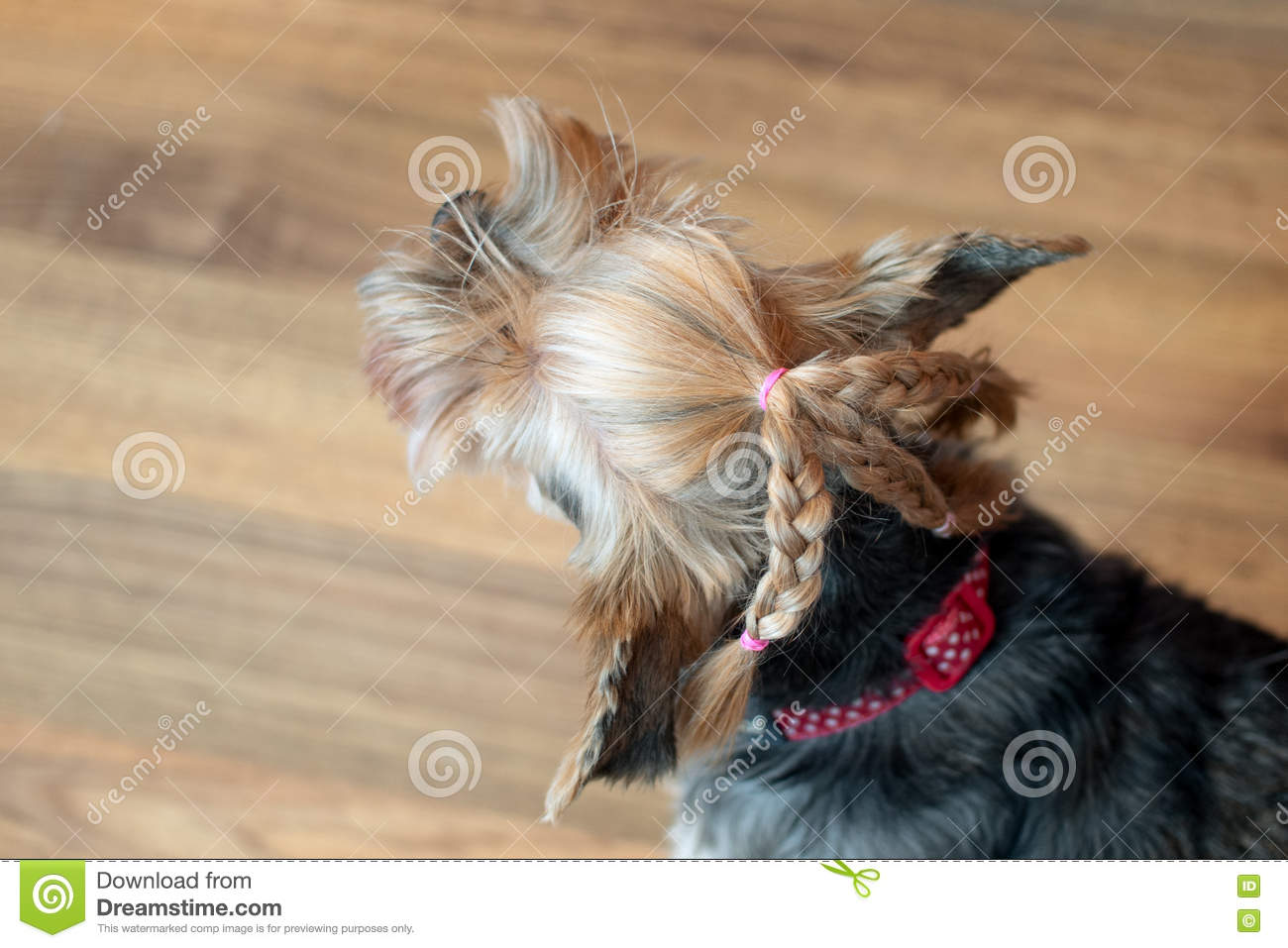 Yorkshire Terrier Stock Image Image Of Haircut Isolated 73284377