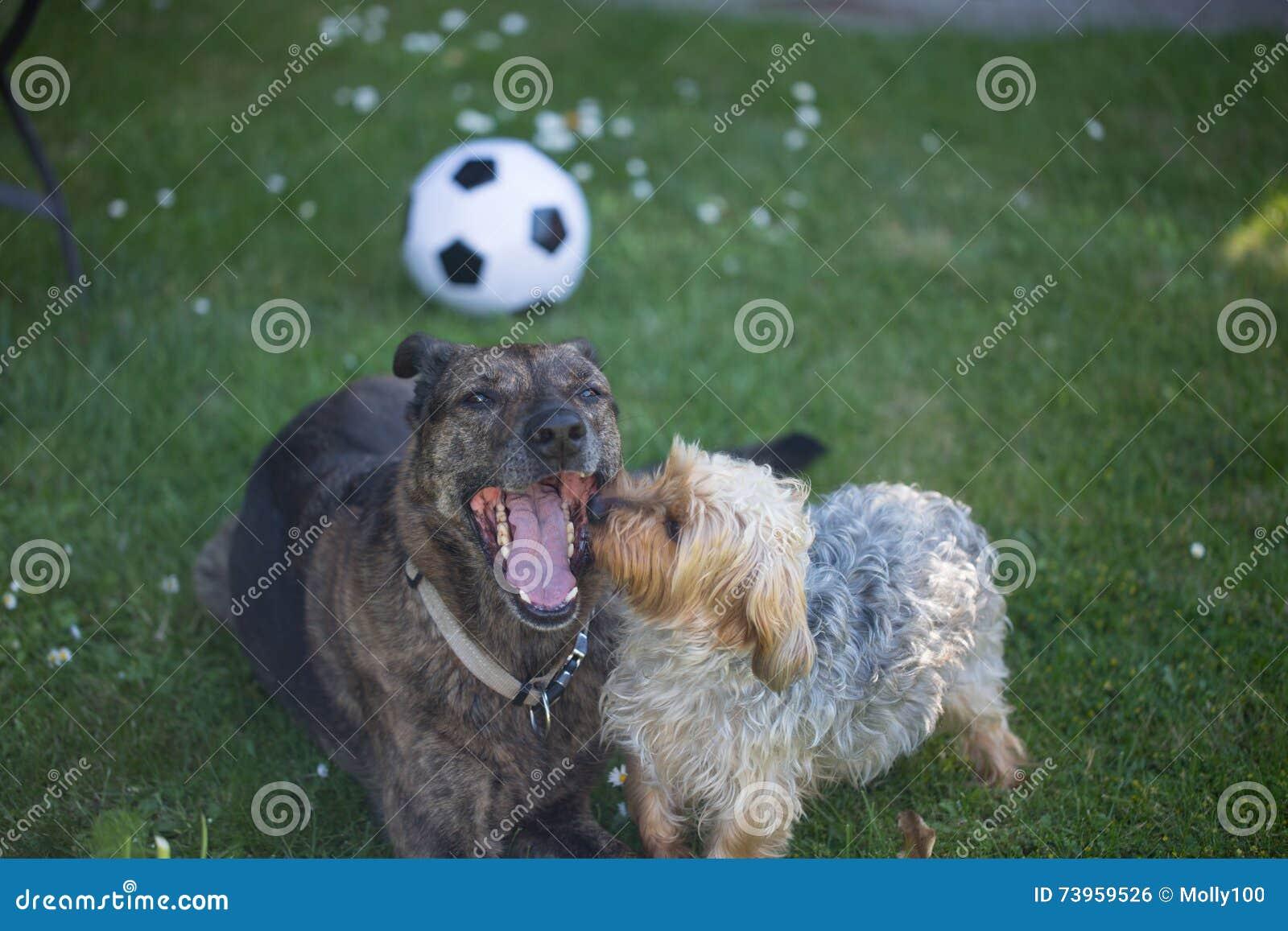Yorkshire Terrier kijkt Herdersmengeling in de mond