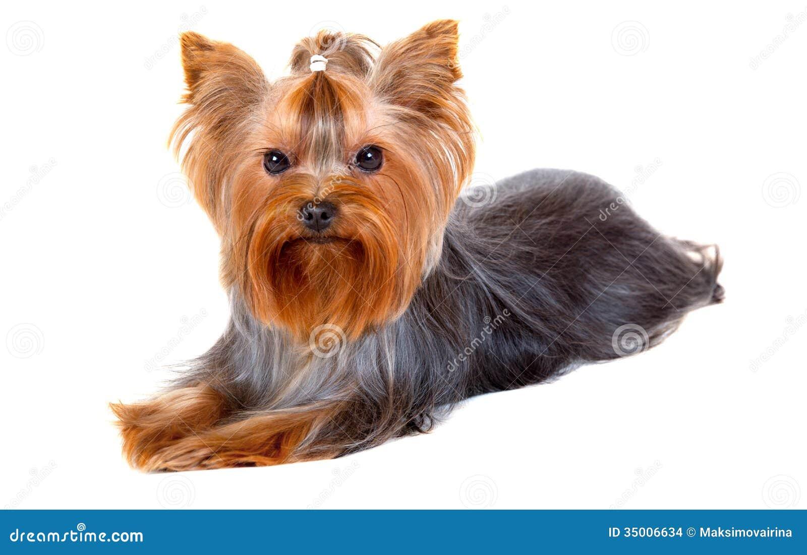 Yorkshire terrier haircut