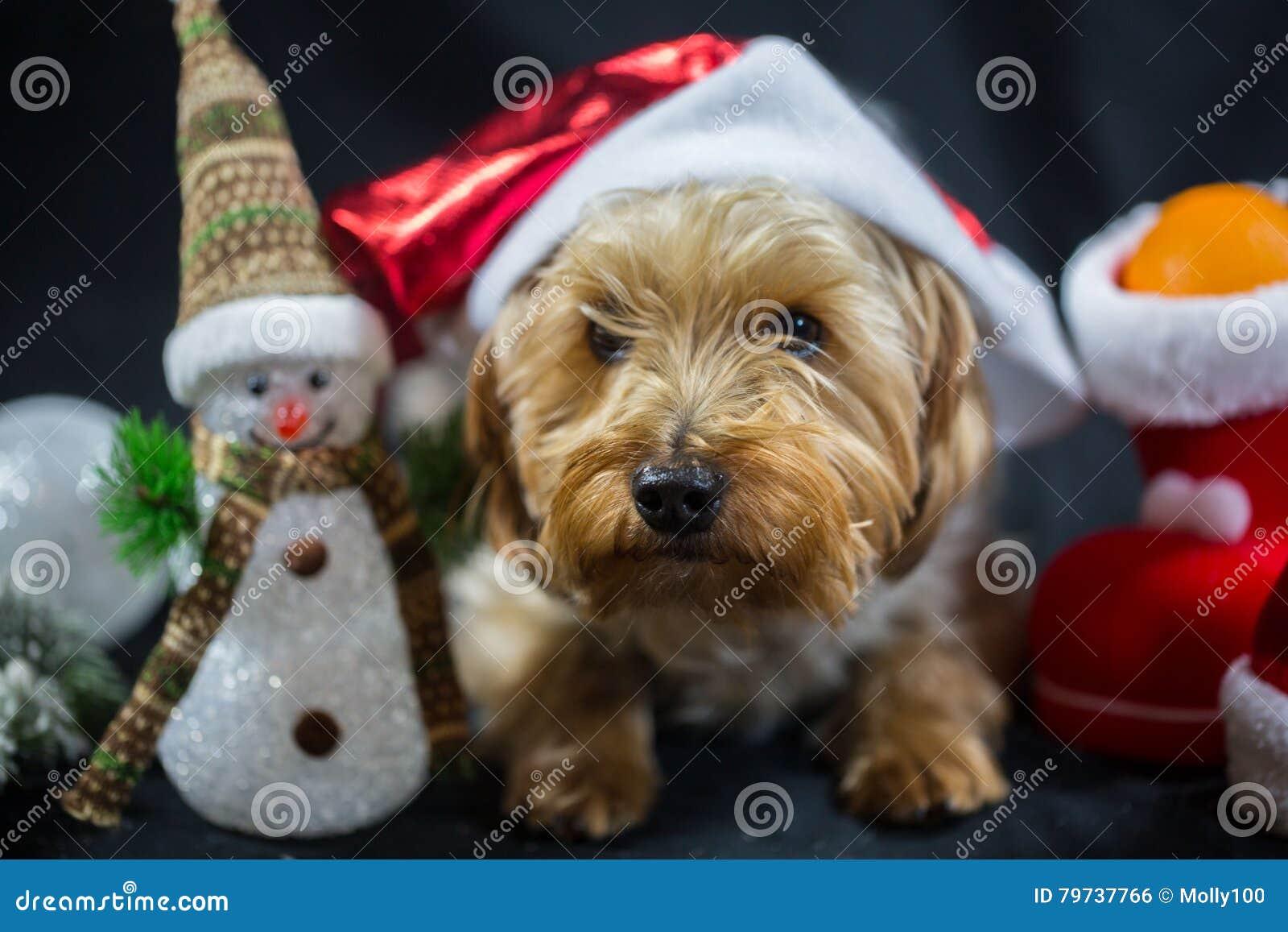 Yorkshire Terrier lindo con el muñeco de nieve