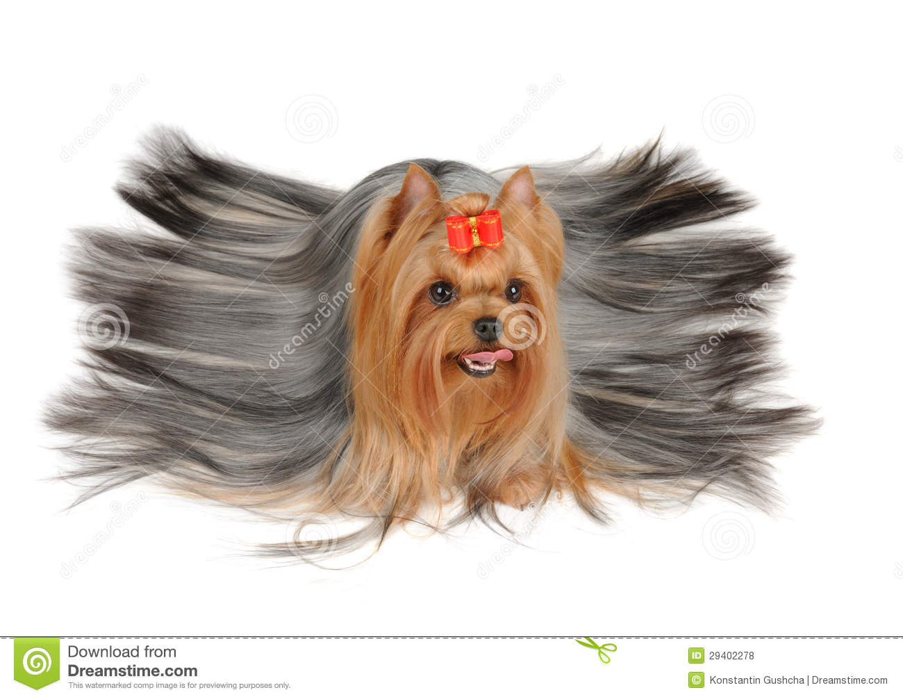 Yorkshire Terrier With Long Hair Stock Photo Image Of Golden Cute
