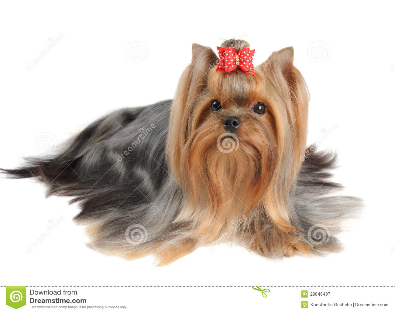 Yorkshire Terrier With Long Hair Stock Image Image Of Isolated