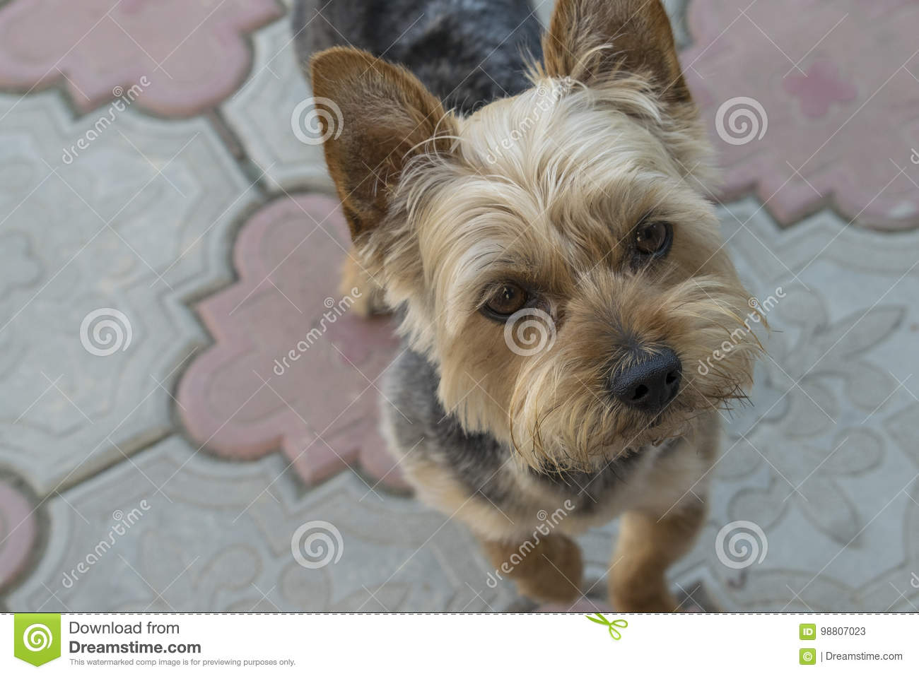 Yorkshire Terrier Looking At The Camera Stock Image Image Of Domestic Cute 98807023