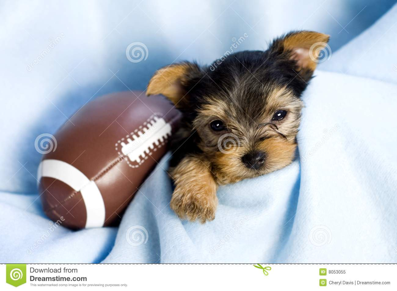 yorkshire terrier male puppy with football royalty free