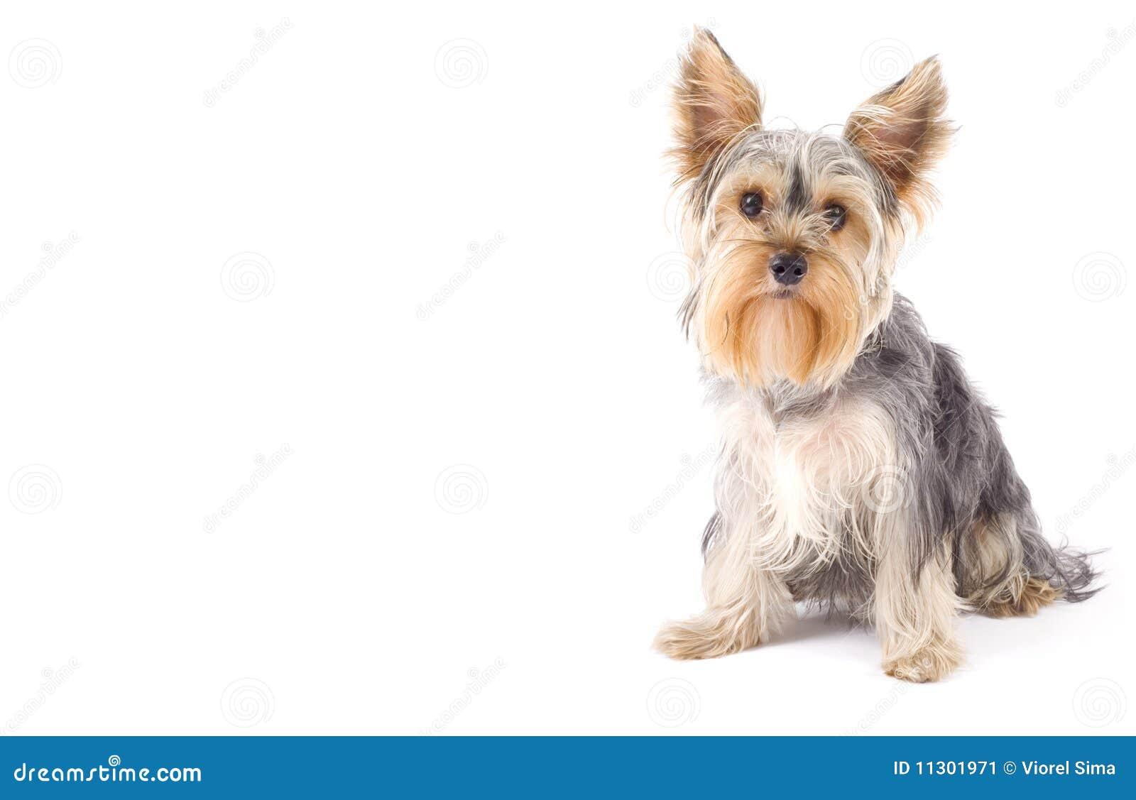 Yorkshire-Terrier mit copyspace