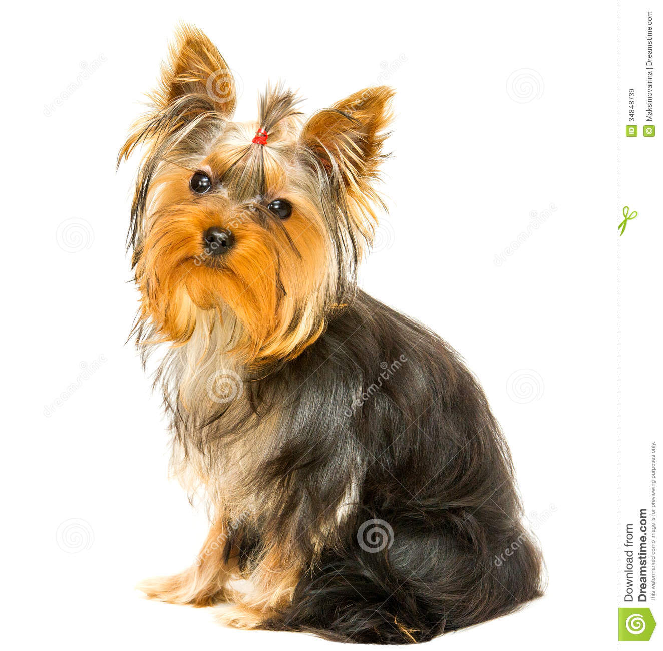 Yorkshire Terrier, 6 months old, sitting in front of white background.