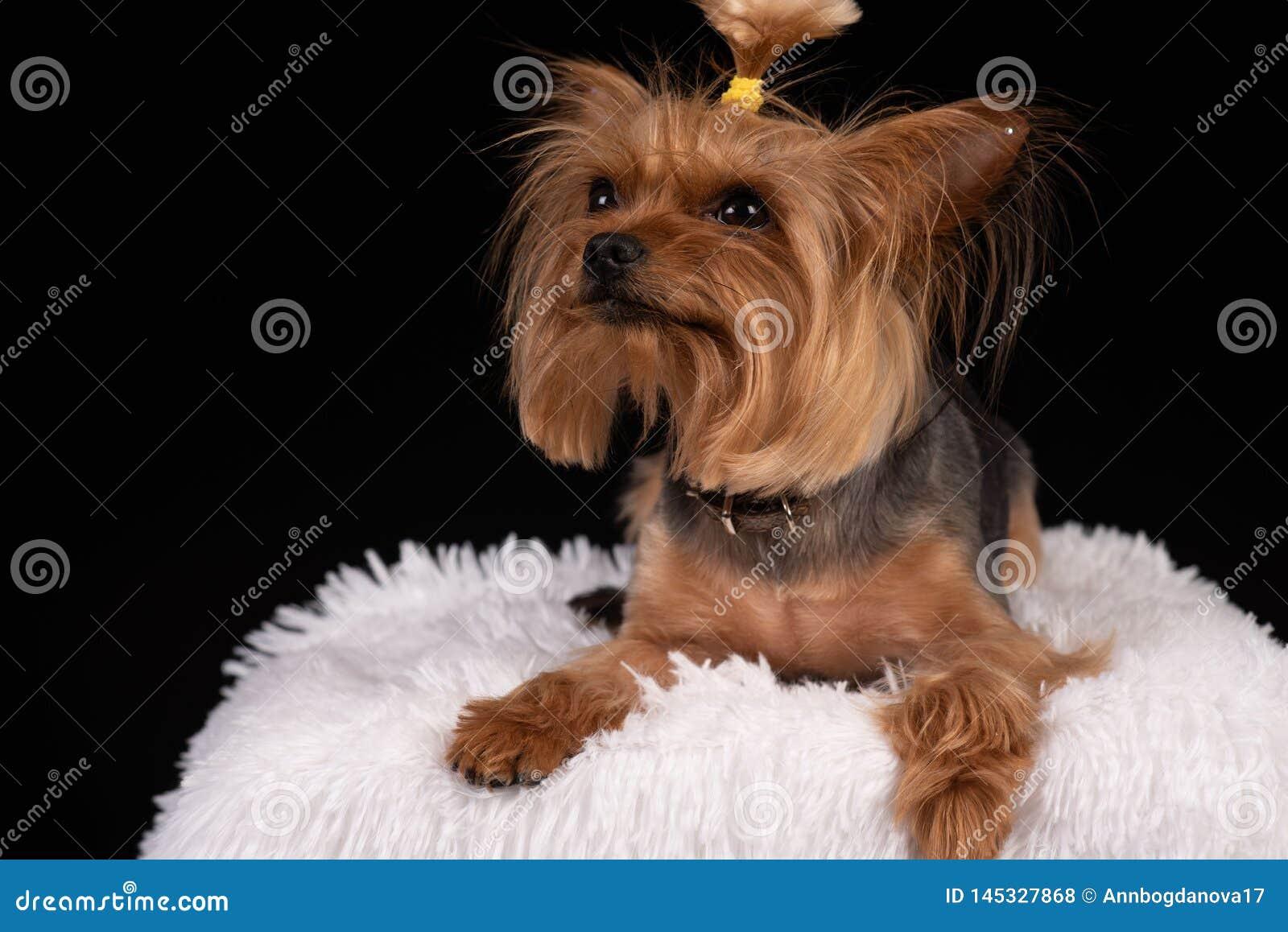 Yorkshire terrier no fundo preto