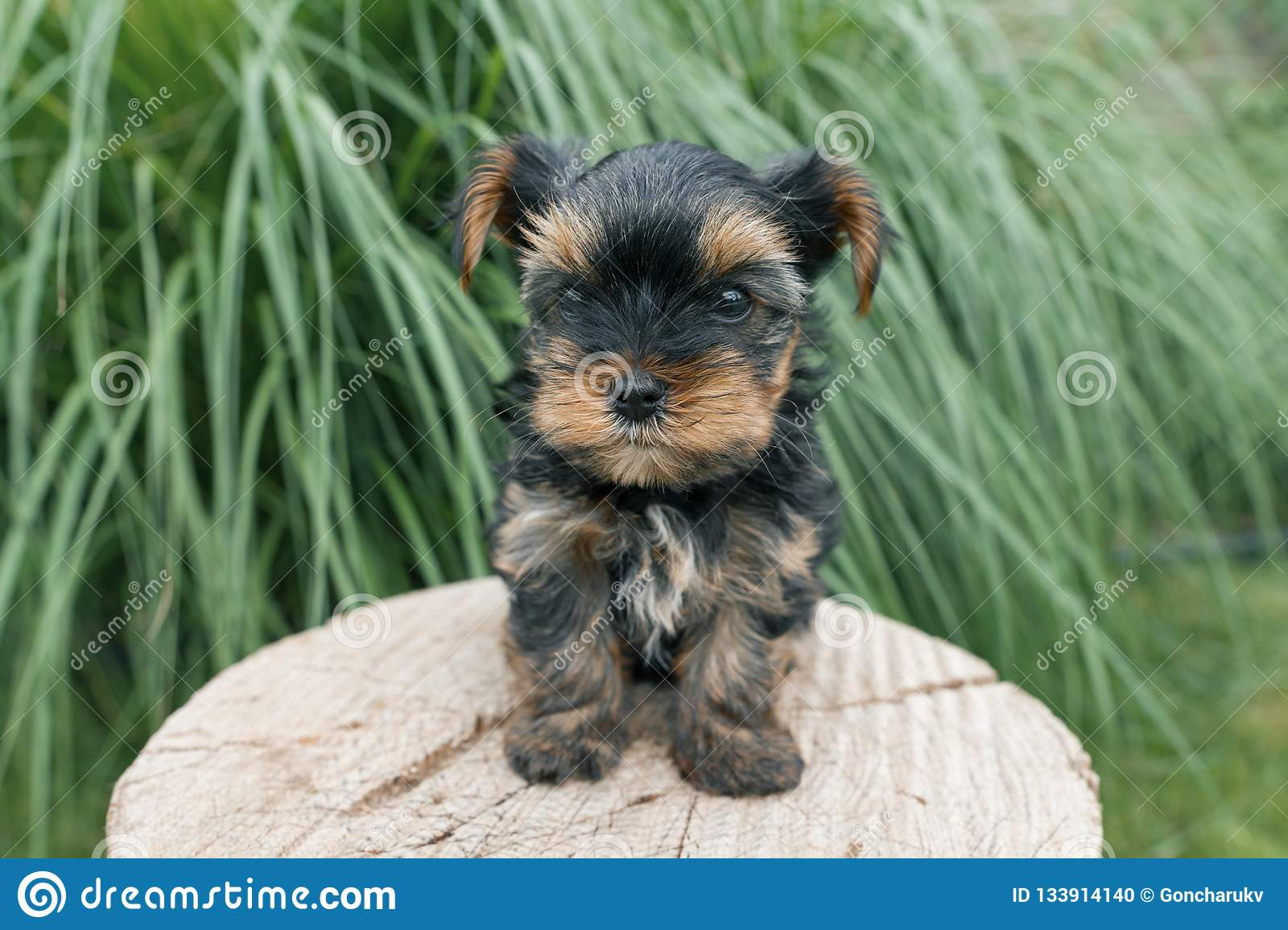 Yorkshire terrier pequeno do cachorrinho que levanta na natureza, close-up