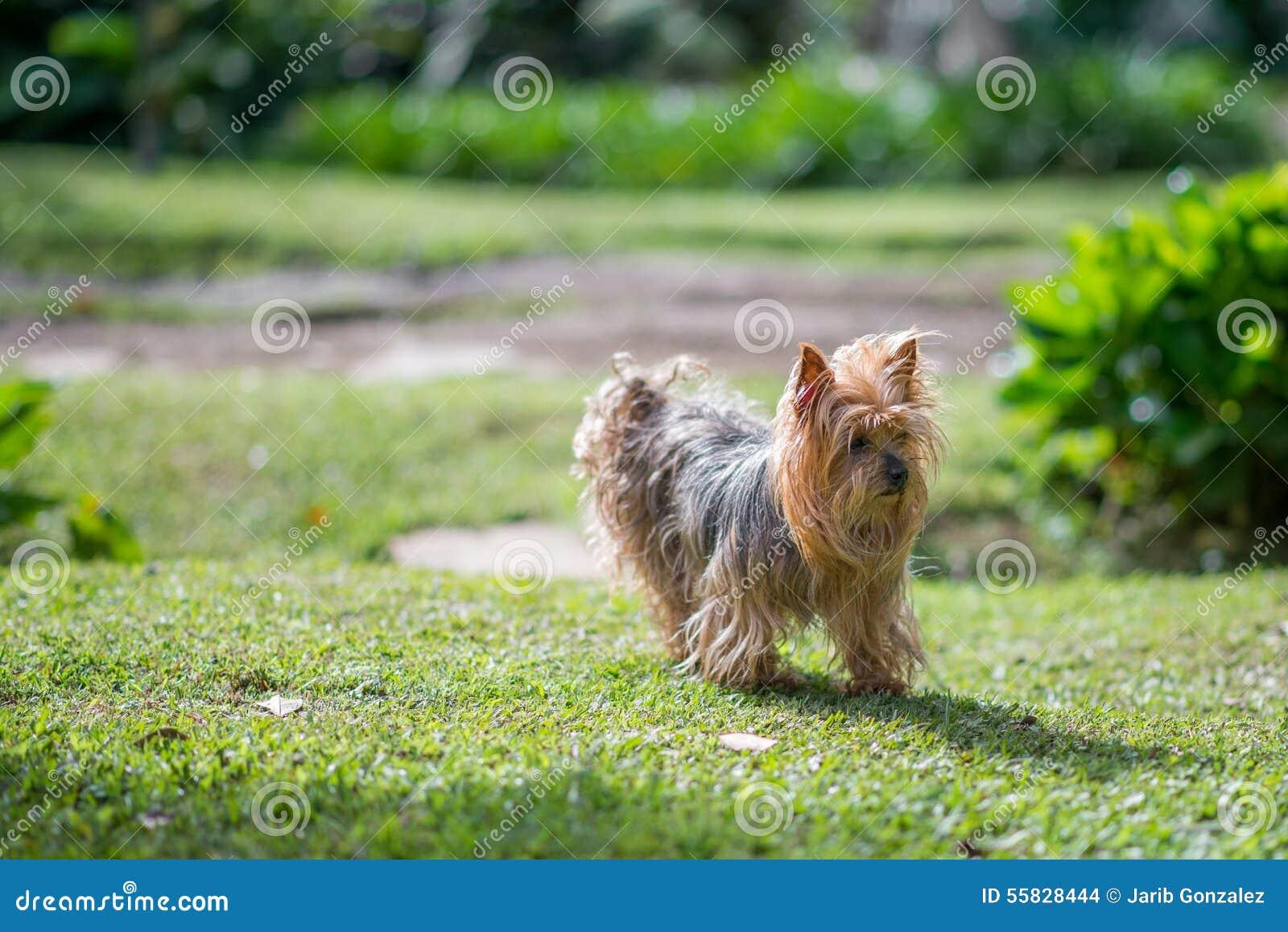 Yorkshire Terrier pies