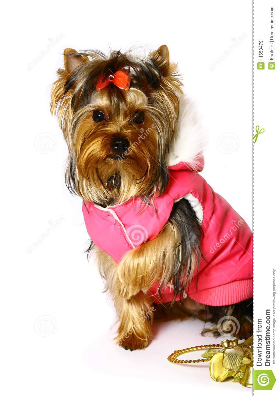 Yorkshire Terrier In The Pink Clothes Royalty Free Stock
