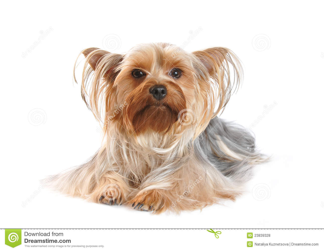 Yorkshire Terrier Of A White Background Stock Image ...