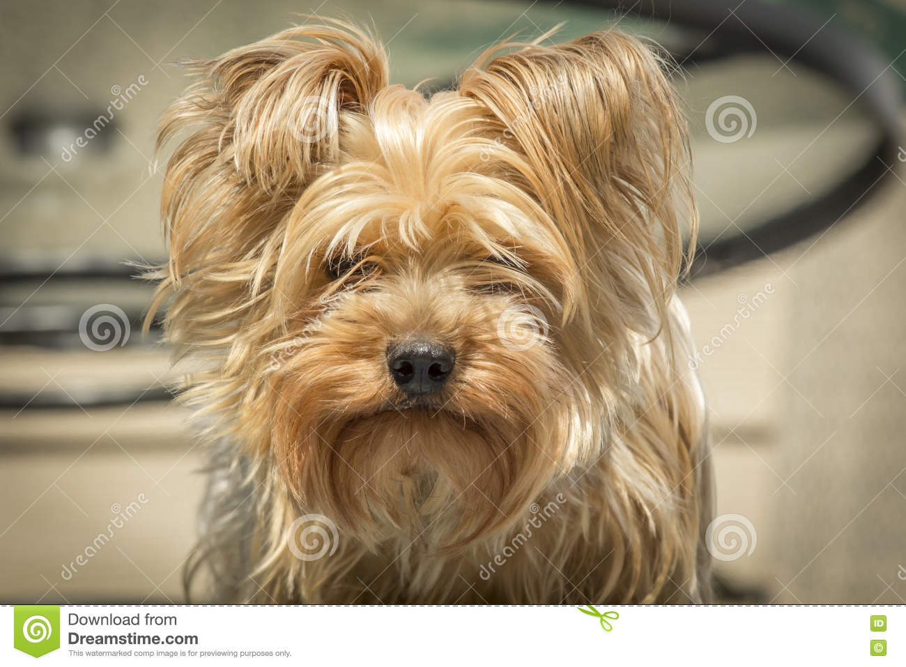 Yorkshire Terrier Portrait Stock Photo Image Of Grooming 70580500