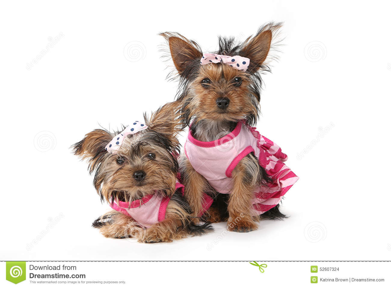 Yorkshire Terrier Puppies Dressed Up In Pink Stock Photo - Image ...