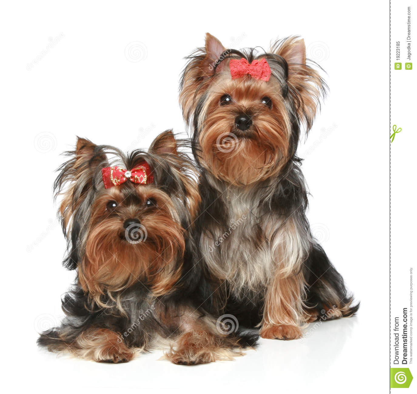 Yorkshire Terrier Puppies On A White Background Royalty Free Stock ...
