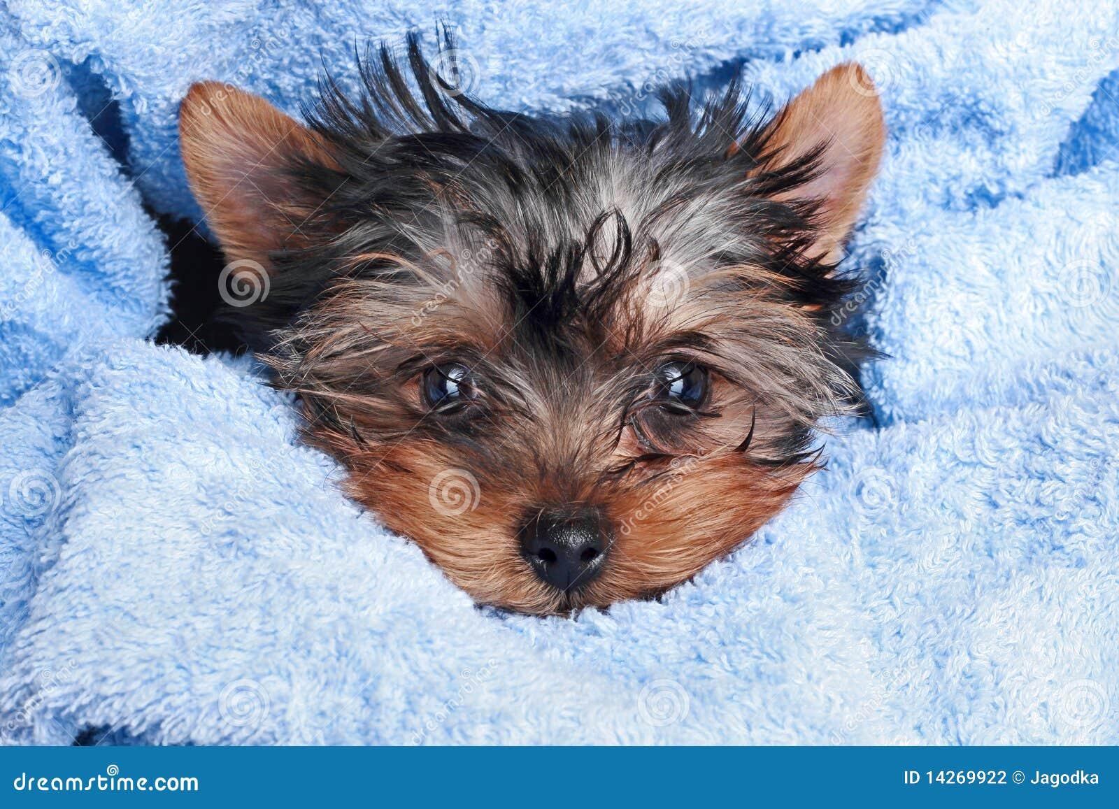 Yorkshire Terrier Pupp...