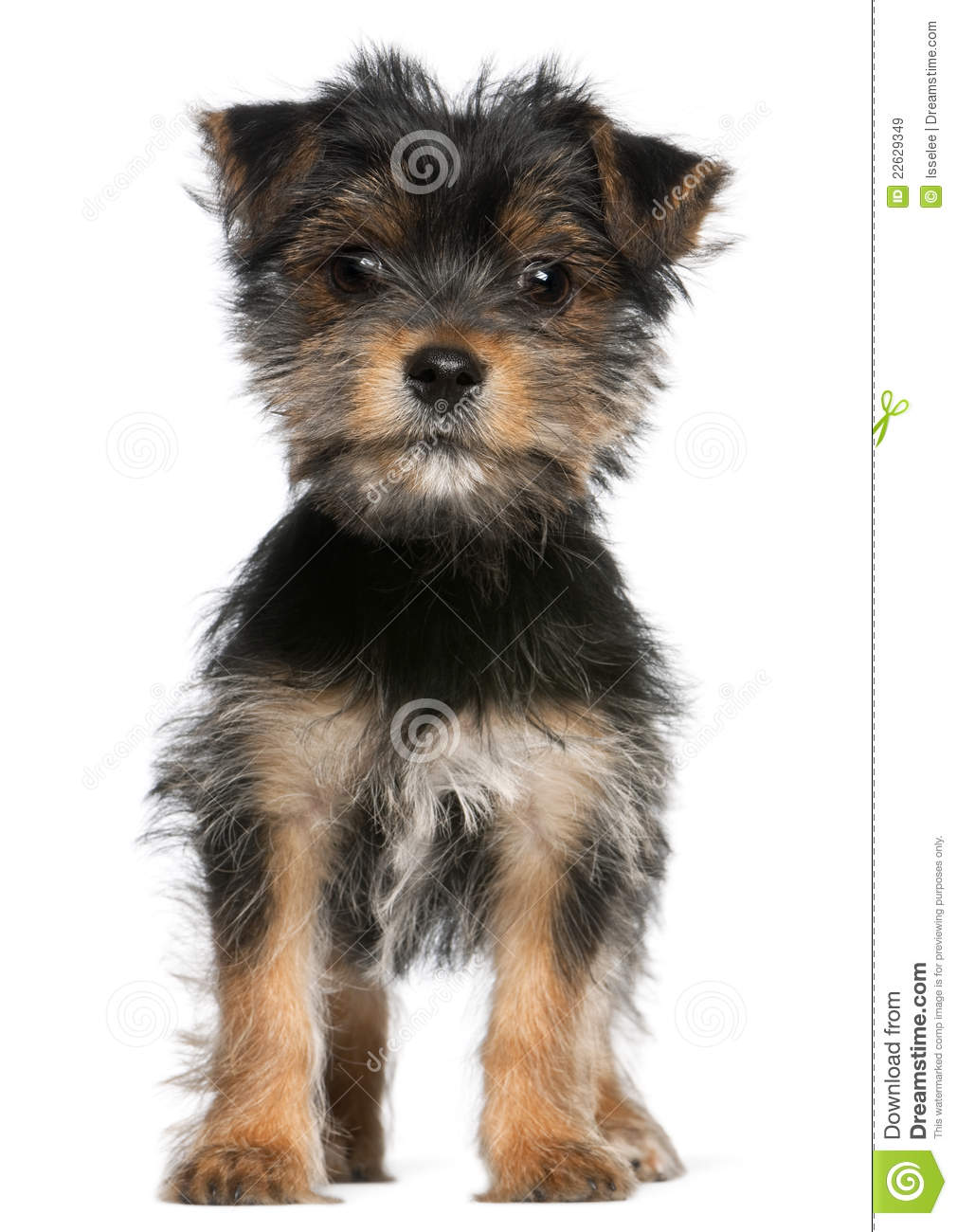 Yorkshire Terrier Puppy, 3 Months Old, Standing Royalty Free Stock ...