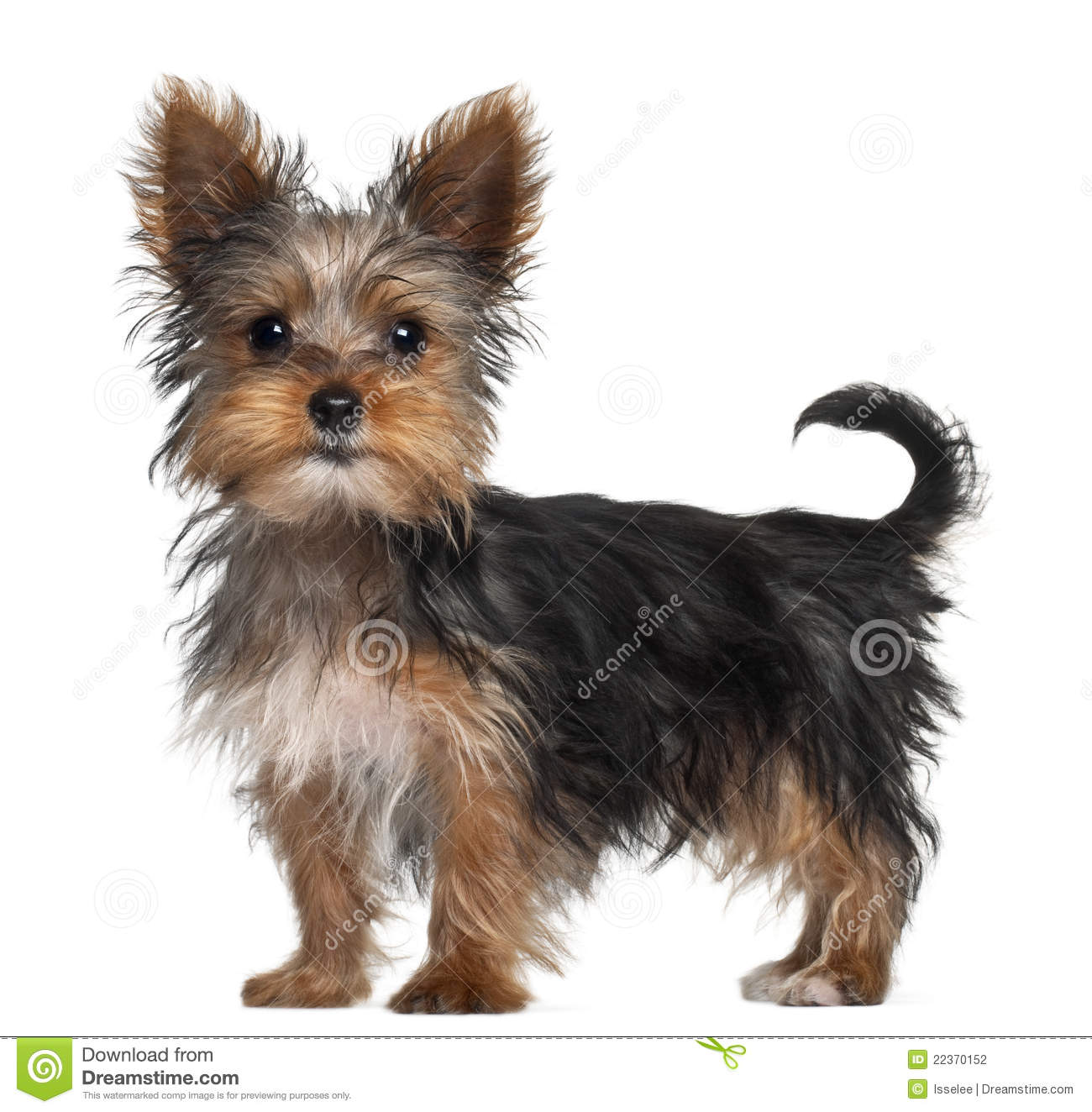 Yorkshire Terrier Puppy, 8 Weeks Old, Standing Stock Photography ... Yorkshire Terrier 5 Weeks Pregnant