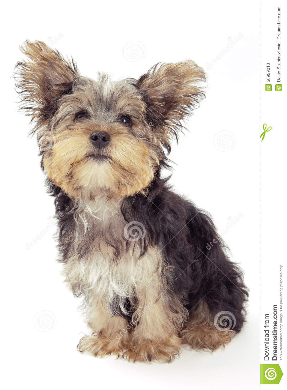 yorkshire terrier white yorkshire terrier puppy isolated on white stock photo 6313