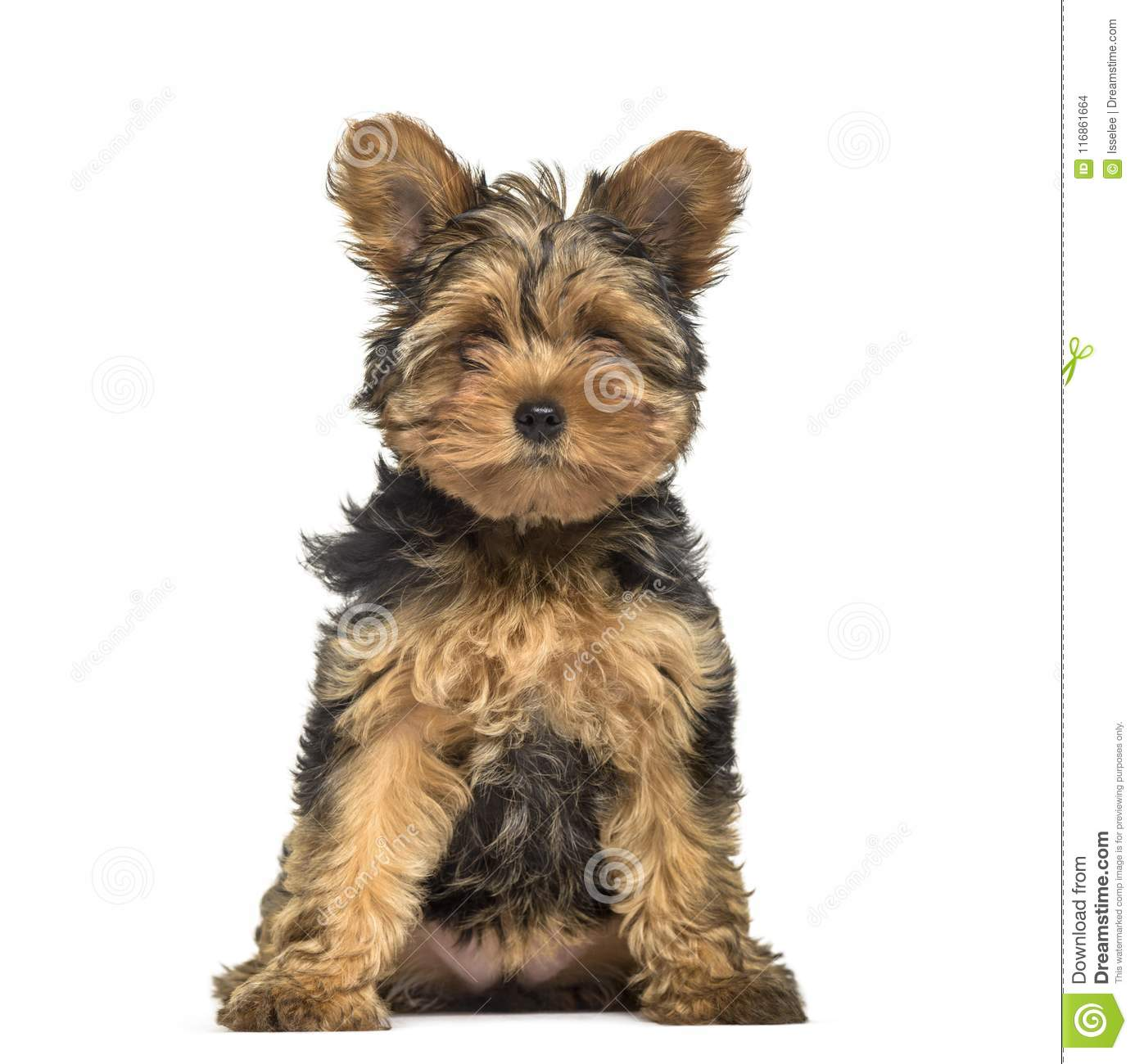 Yorkshire Terrier Puppy 3 Months Old Stock Photo Image Of Alone