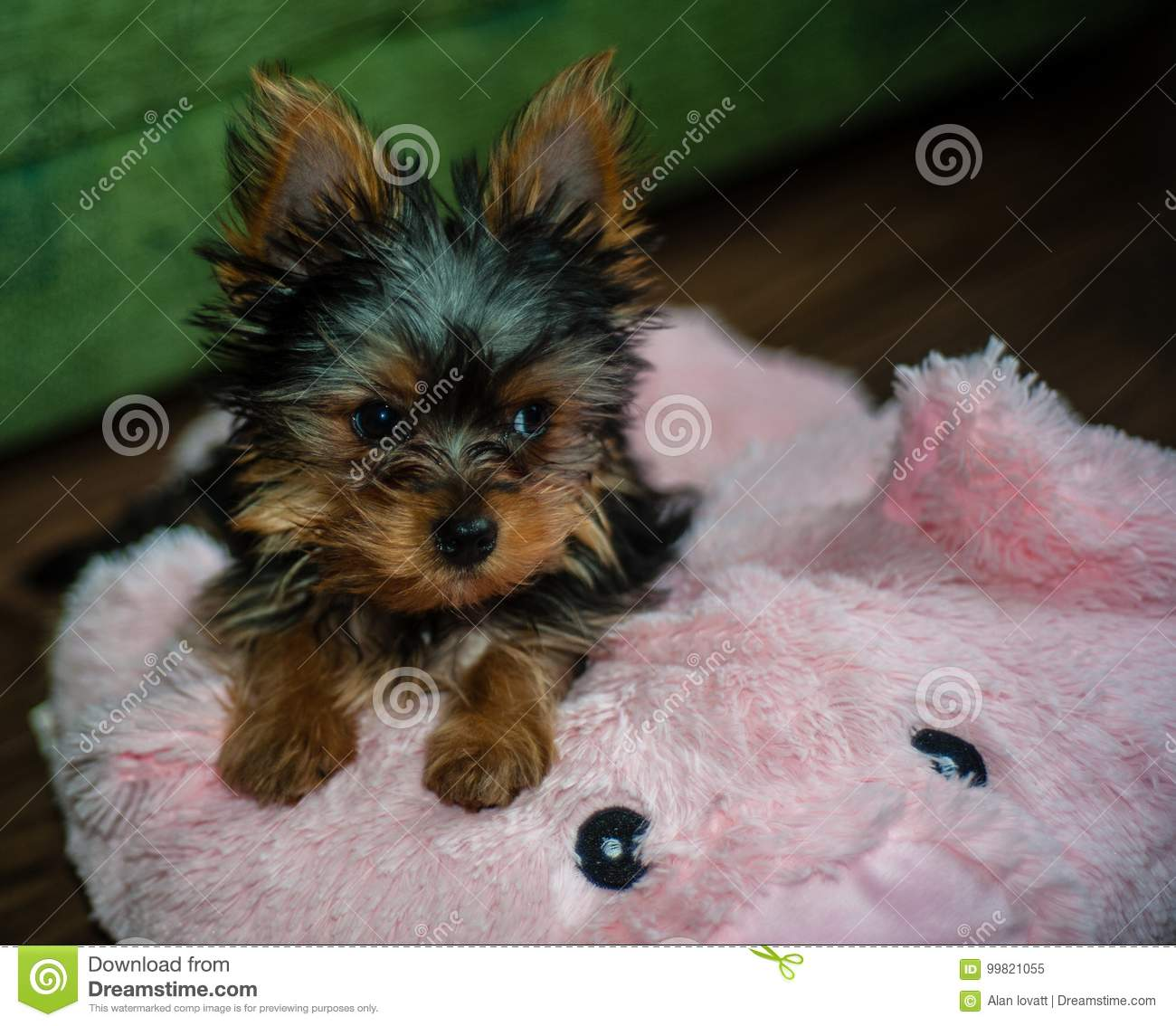 Yorkshire Terrier Puppy Stock Image Image Of Living 99821055