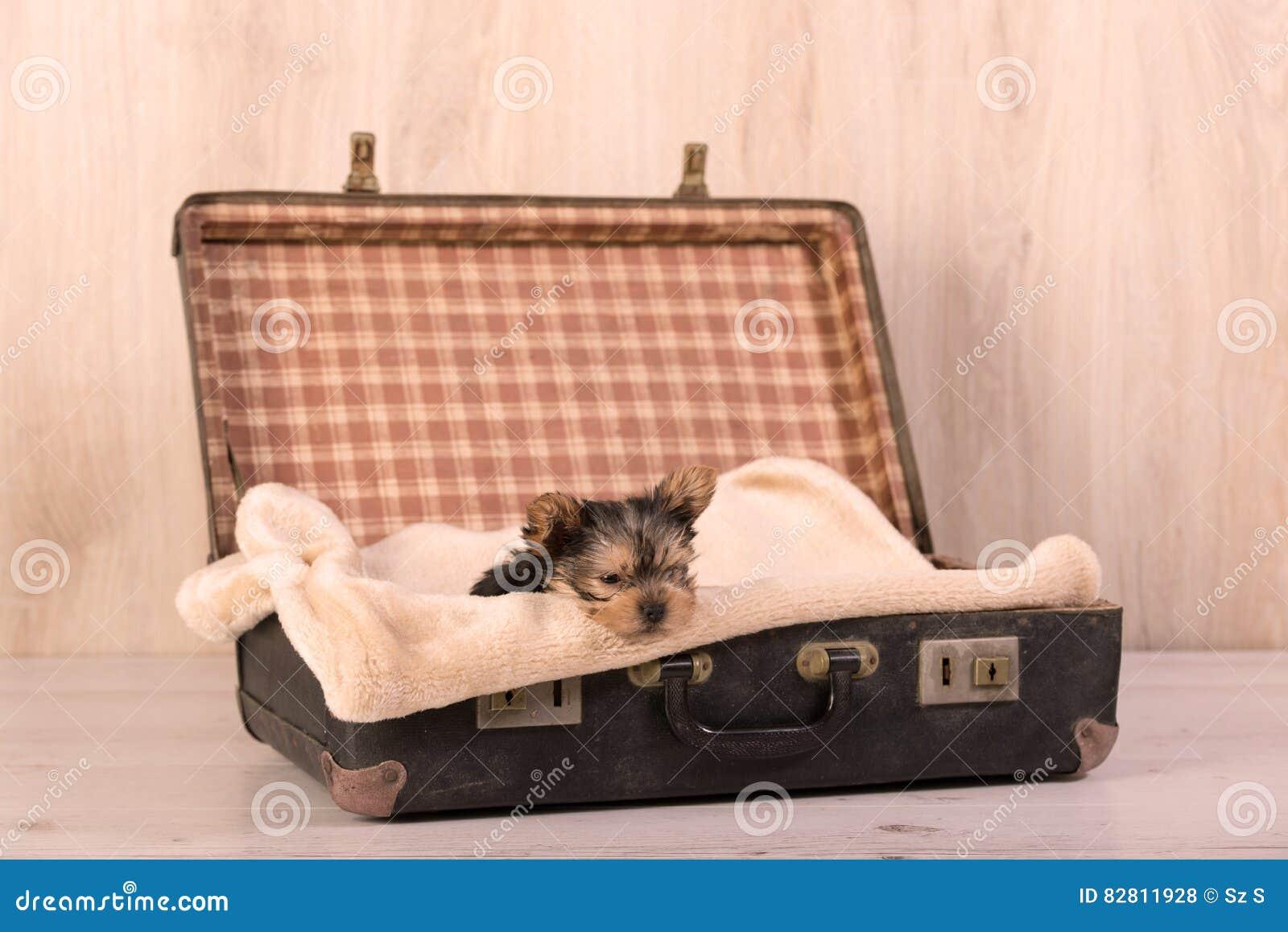 Yorkshire terrier in retro valigia