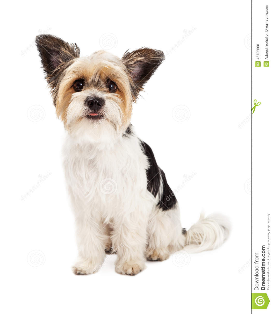 Yorkshire Terrier And ShihTzu Crossbreed Sitting Stock ...
