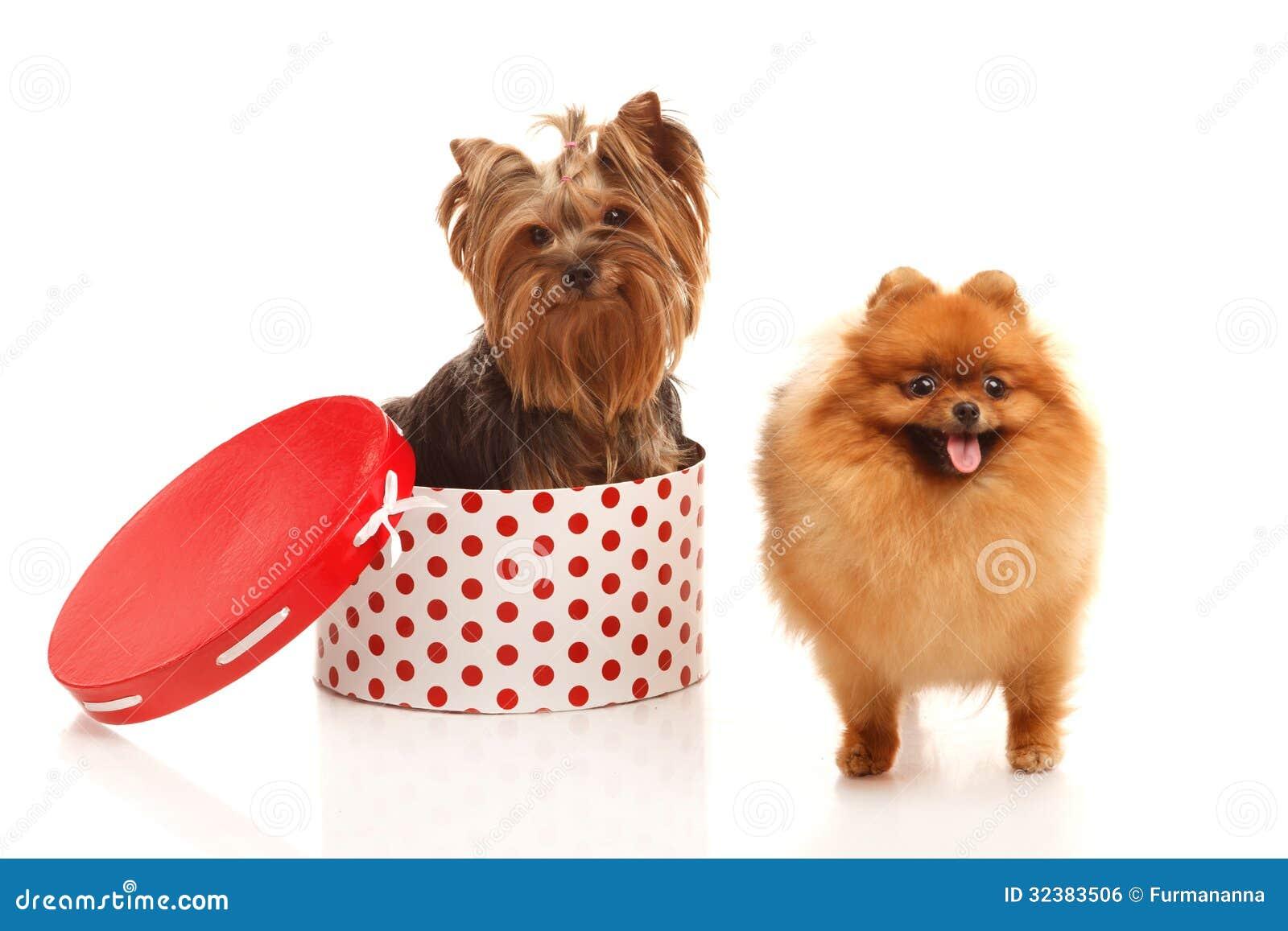 Yorkshire Terrier Und Pomeranian Spitz Stockfoto Bild Von Weiß