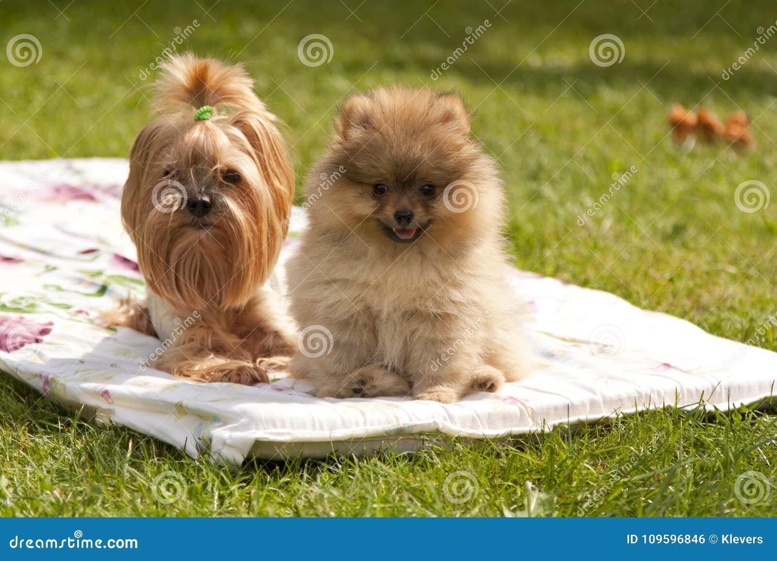 Yorkshire Terrier Und Pomeranian Spitz Sitzen Auf Einer Decke