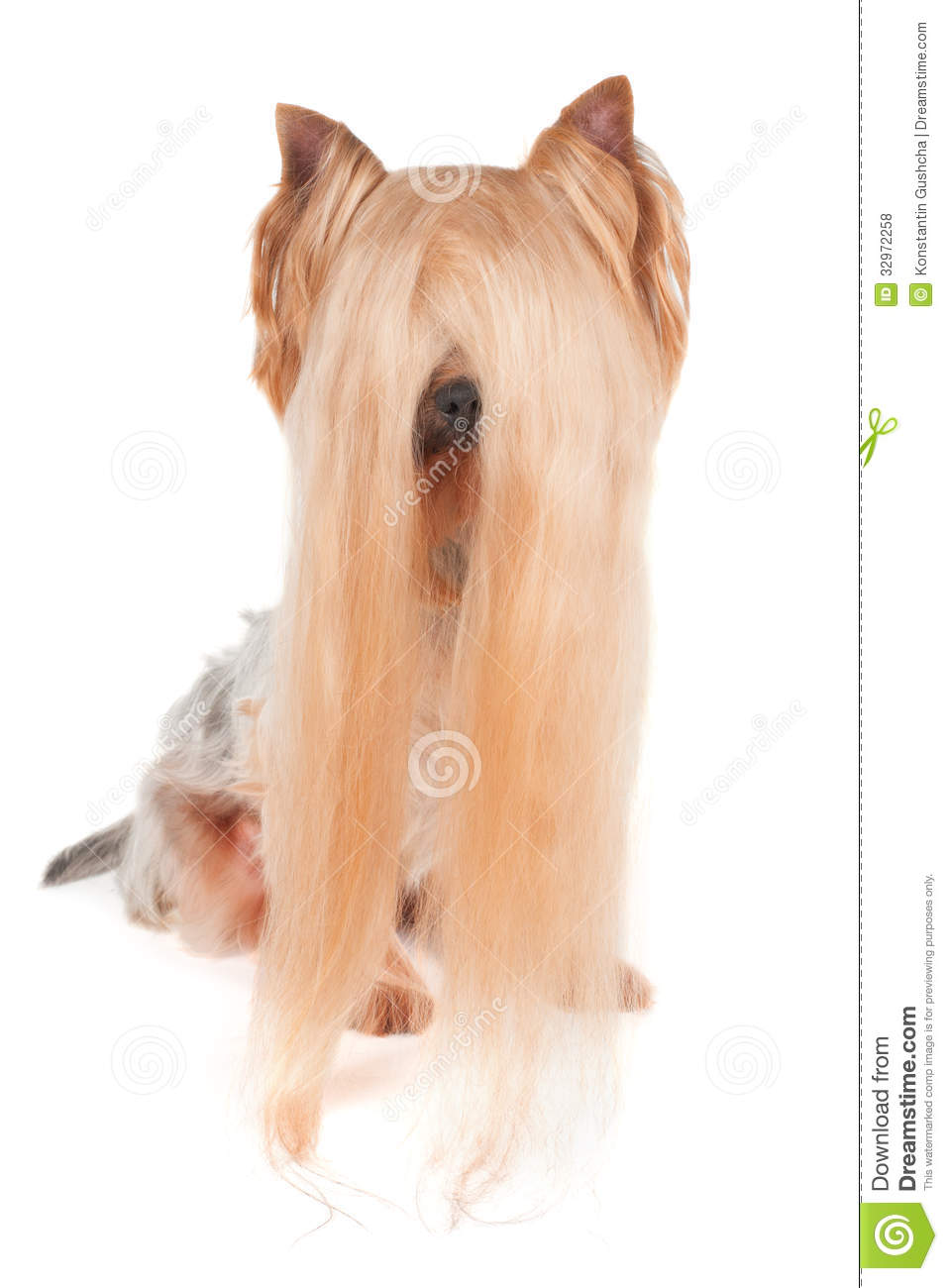 Yorkshire Terrier With Very Long Hair Stock Photo Image Of
