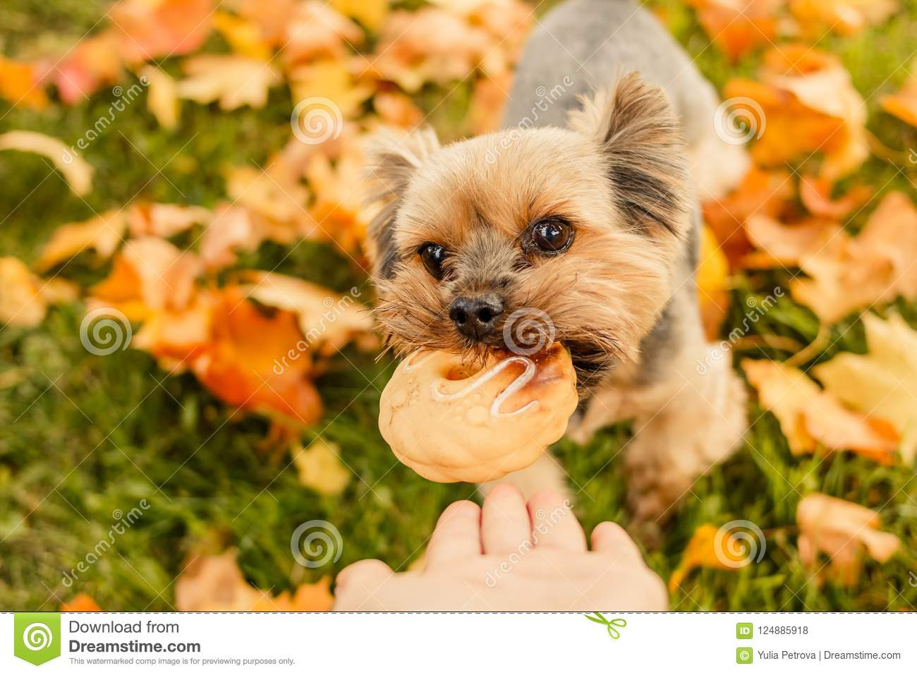Yorkshire Terrier Waiting For A Toy Bone. Owner`s Hand ...