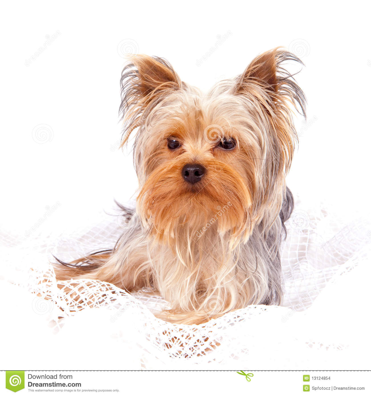 yorkshire terrier white yorkshire terrier on white stock images image 13124854 6936