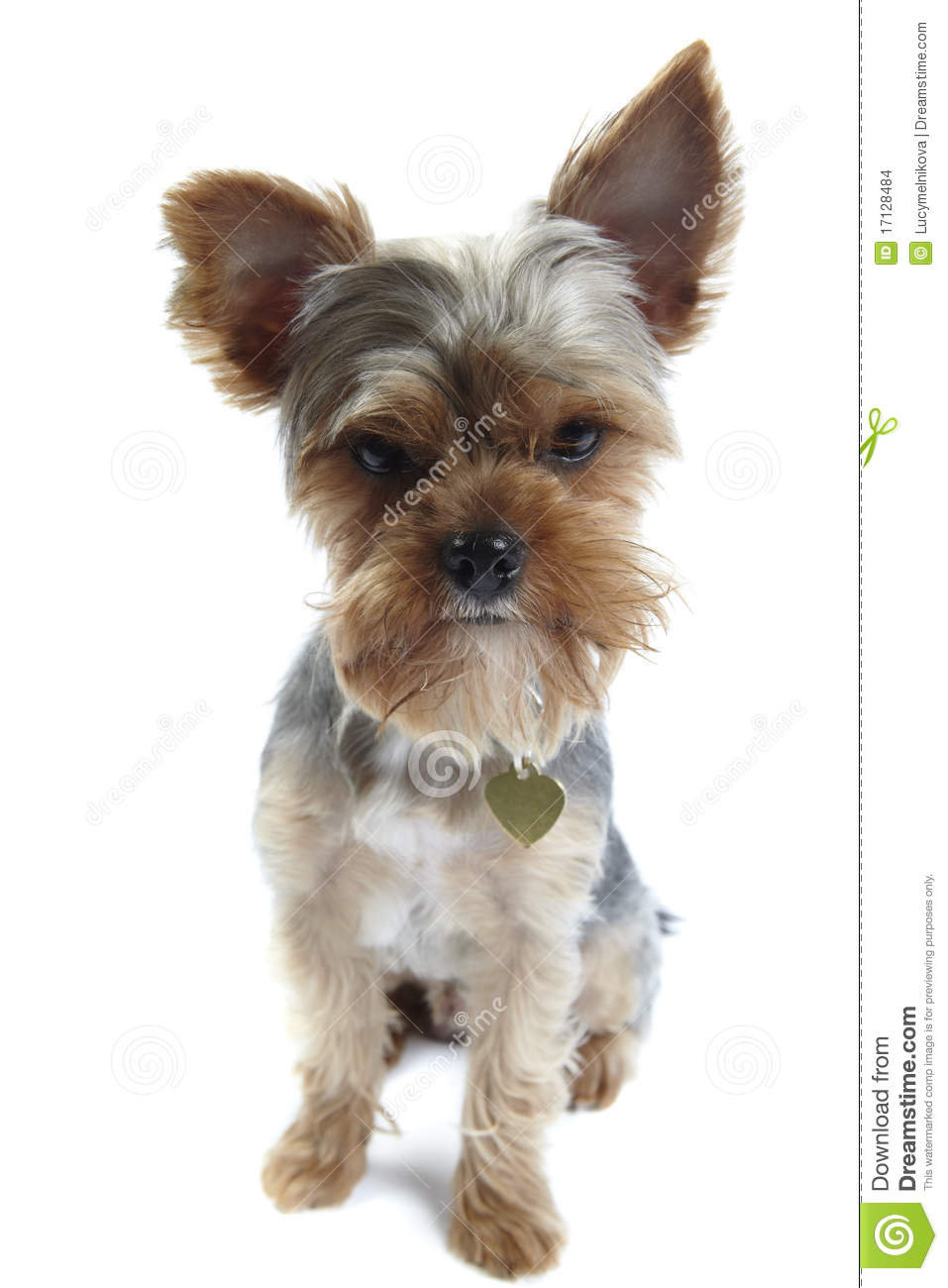 Yorkshire Terrier On White Stock Images - Image: 17128484