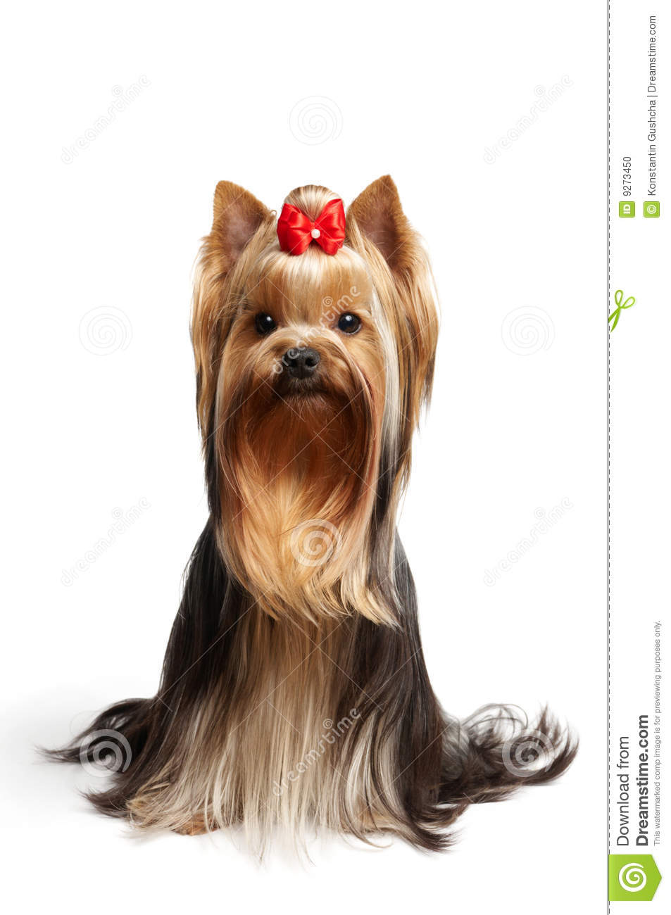 The Yorkshire Terrier On White Background Stock Photo ...