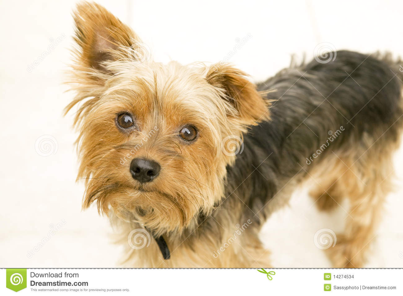 Yorkshire Terrier On White Isolated Background Stock ...
