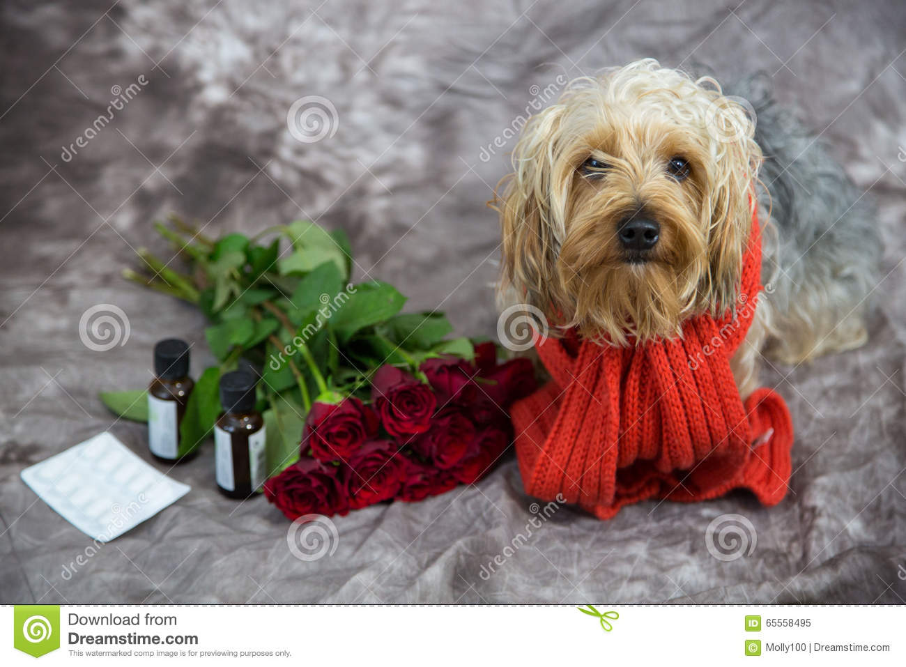 Yorkshire Terrier Wishes A Speedy Recovery Stock Image Image Of