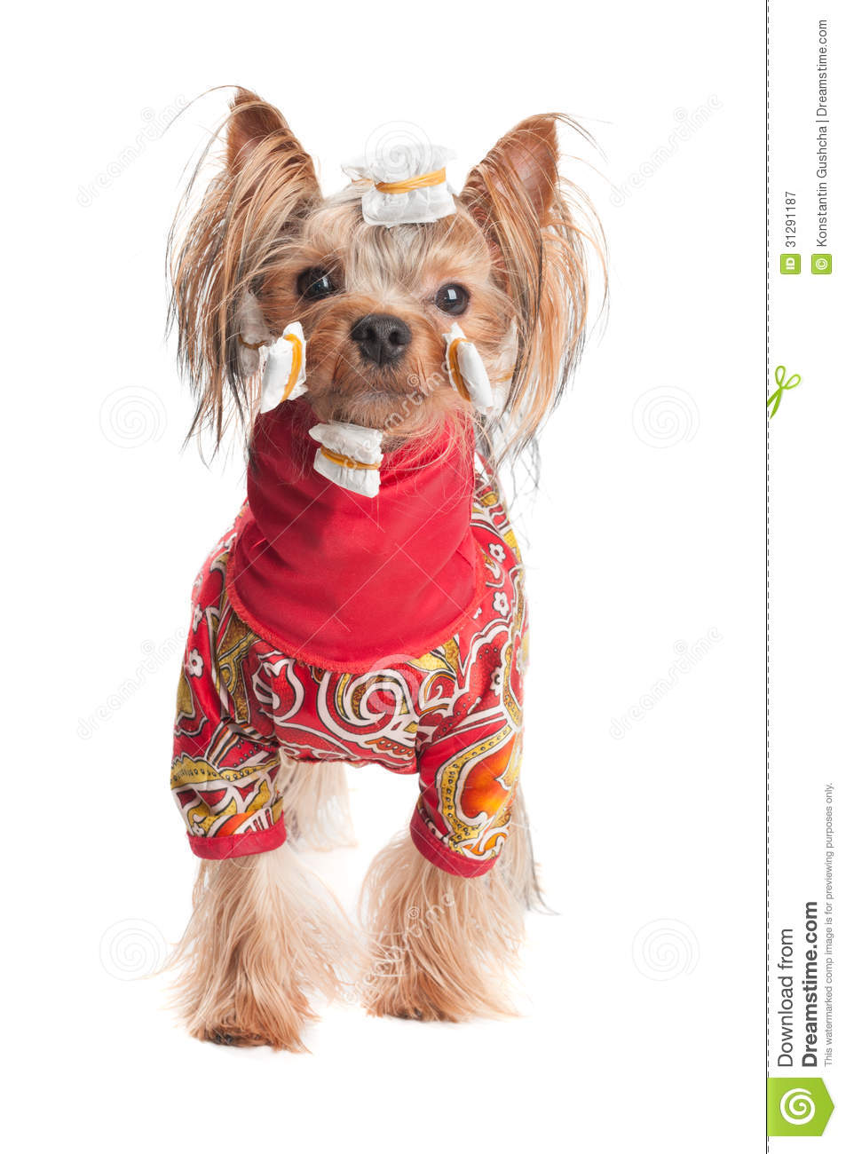 Yorkshire Terrier In Wrapping Paper And Jacket Stock Image