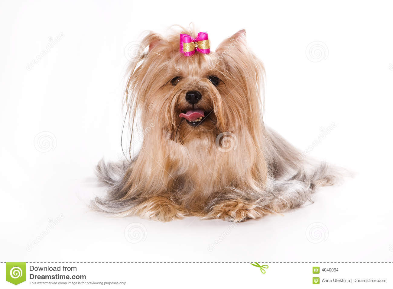 Yorkshire Terrier (Yorkie) Puppy On A White Backgr Stock ...