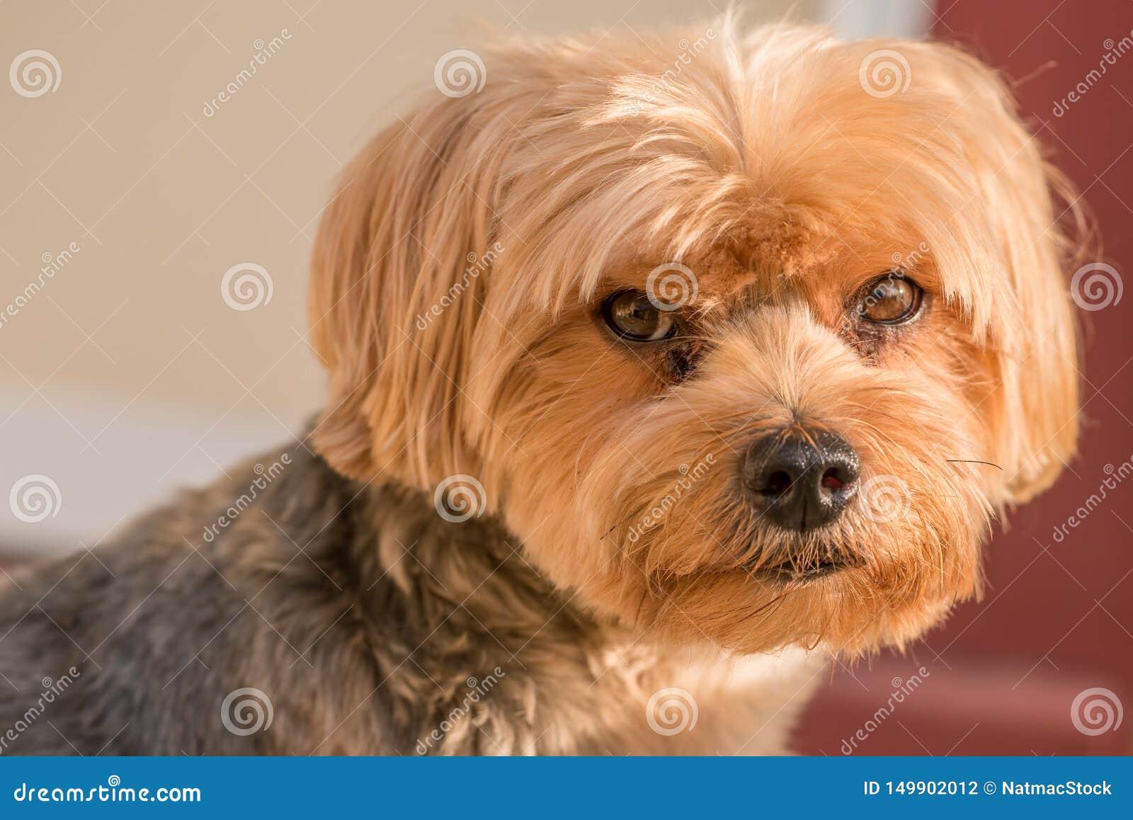 Yorkshire-Terrierporträt - reine Zucht - große Einzelperson