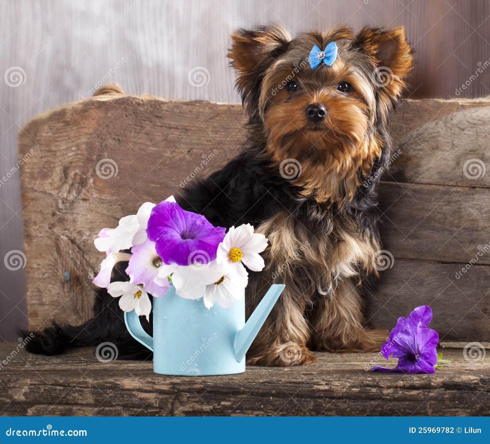 Yorkshire Welpe Und Blume Stockfoto Bild Von Kopf Geburtstag