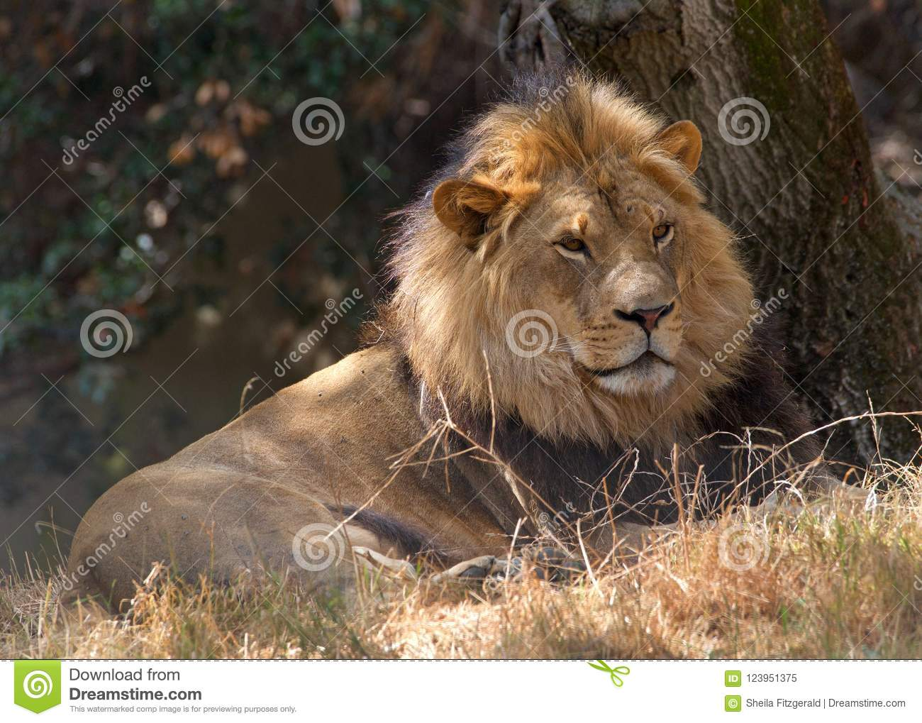 Young adult male lion laying on dry grass in shade of trees