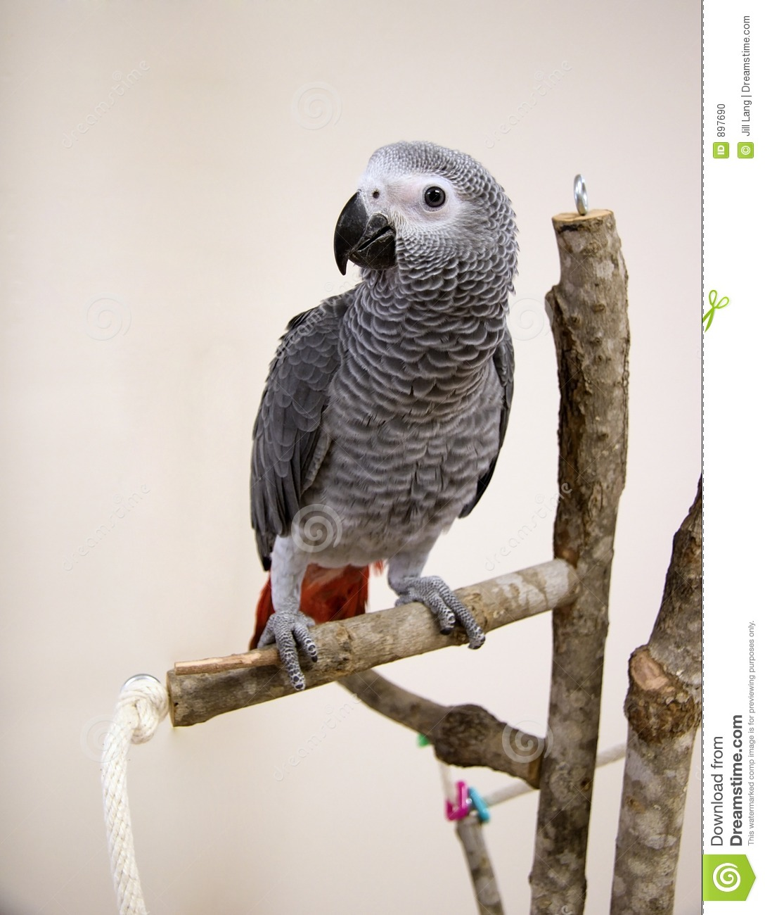 More similar stock images of ` Young African Grey Parrot `