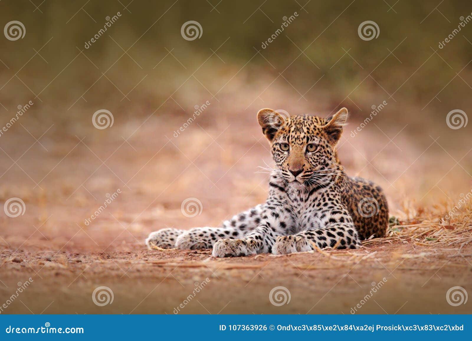 Young African Leopard, Panthera pardus shortidgei, Hwange National Park, Zimbabwe. Beautiful wild cat sitting on the gravel road i