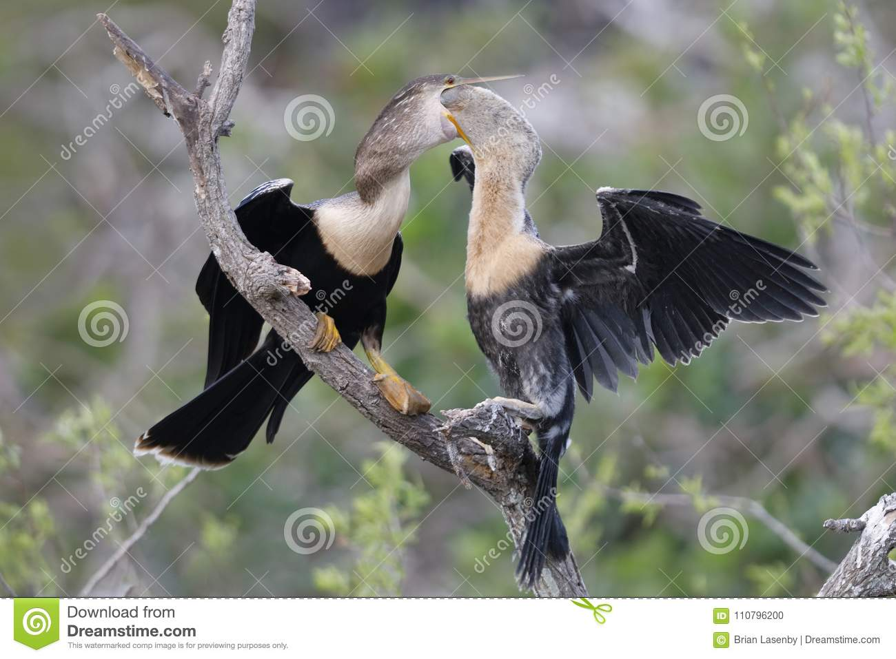Young Anhinga reaching into its mother`s throat to extract a partially digested meal