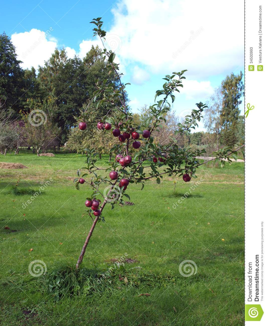 young apple tree stock image image of tree branch juicy