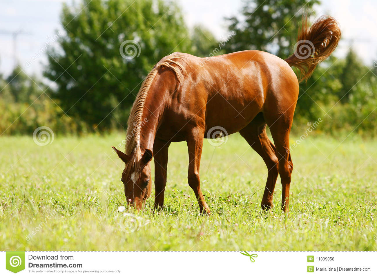 Young arab colt grazing