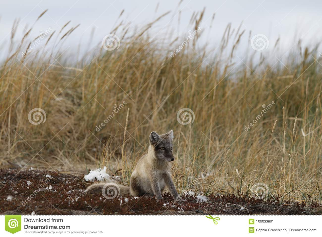 Young Arctic Fox, Vulpes Lagopus, In Fall Colours Staring