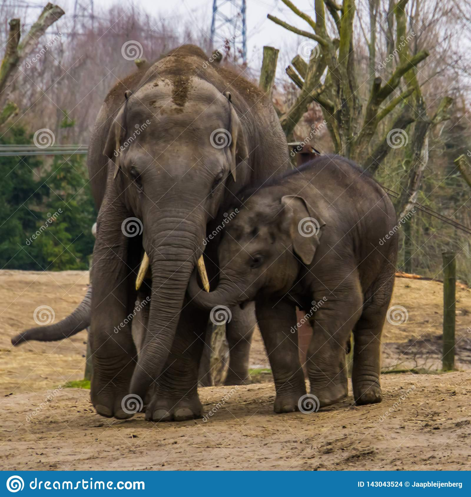 Young Asian elephant walking with its dad, very cute family portrait, Endangered animals from Asia