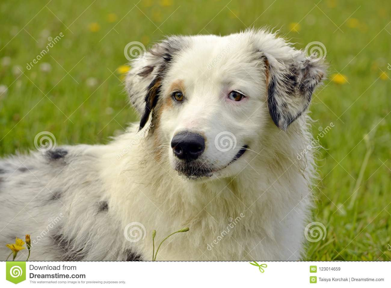 Young Australian Shepherd Dog Aussie Merry Fuss Puppies Training Of Dogs Dog Education Cynology Intensive Training Of Young Stock Image Image Of Cheerful Games 123014659