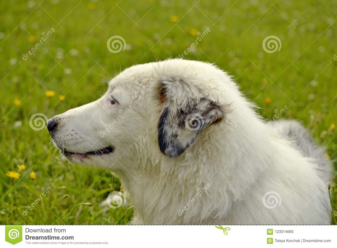 Young Australian Shepherd Dog Aussie Merry Fuss Puppies Training Of Dogs Dog Education Cynology Intensive Training Of Young Stock Photo Image Of Energetic Aussie 123014660